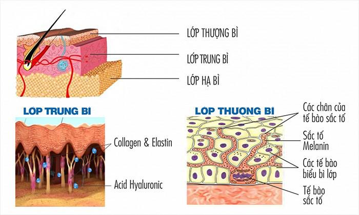 Các tế bào bên trong da sẽ trồi lên lớp hạ bì