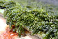 Bất ngờ công dụng trị sẹo từ chiết suất tảo biển